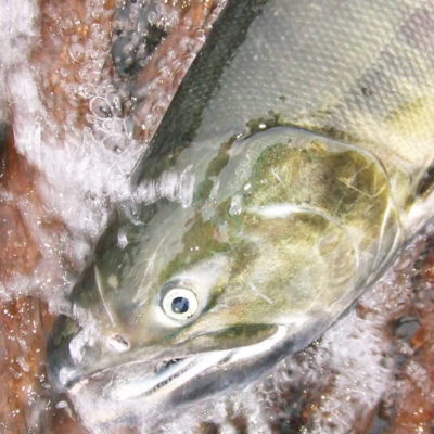 肥料となる鮭