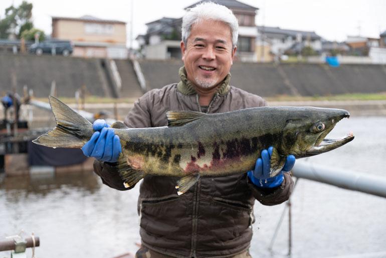 加茂川を遡上する鮭を肥料に使用