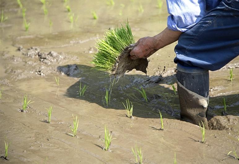 ミネラル豊富な天然水のみで栽培!それが「天水田」!