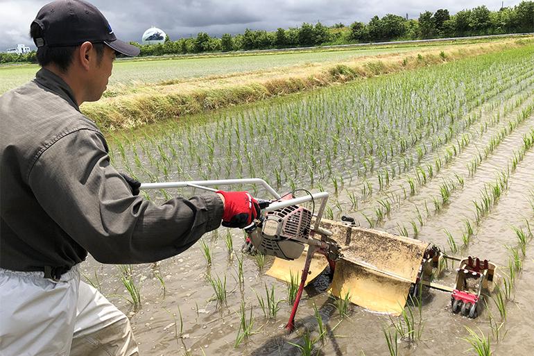 手作業で稲の生育をサポートしています