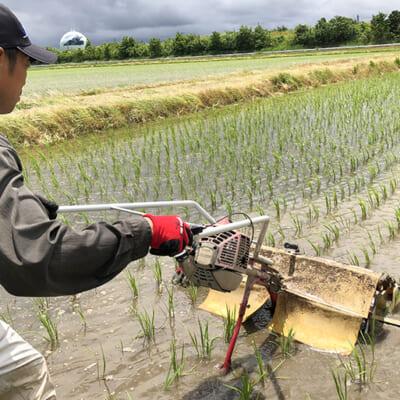 薬に頼らず、稲の力を引き出す有機栽培