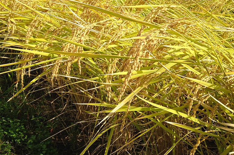 自然と共生しながら健康な稲を育む