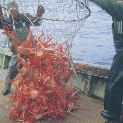 日本海産 茹でたて紅ズワイガニ