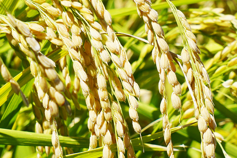 有機栽培の経験をもとに稲を育てる