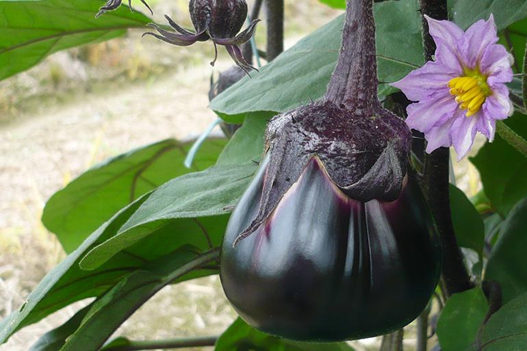 魚沼産の新鮮な採れたて茄子を使用