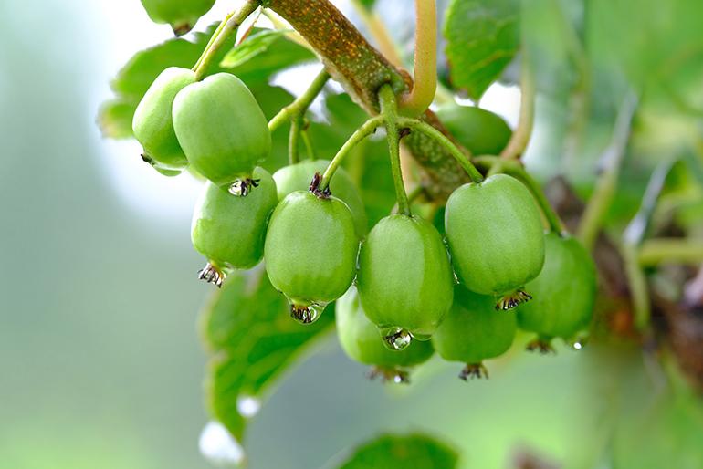 小さな果実に驚くほどの高い栄養価を蓄えた「サルナシ」