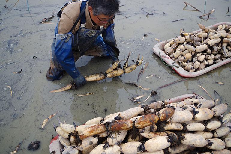 泥の深い場所で安全に育つレンコン