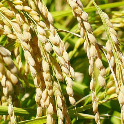 低肥料栽培で栄養をたっぷり蓄積
