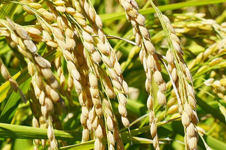 濃い味わい・もちもち食感を生む低肥料栽培