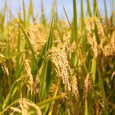 有機栽培米コシヒカリから作った米粉を使用