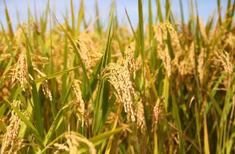 専門機関から認証を受けた有機栽培米を使用