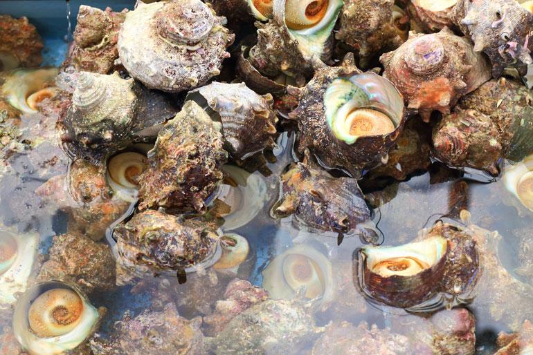 佐渡海域はサザエの好漁場