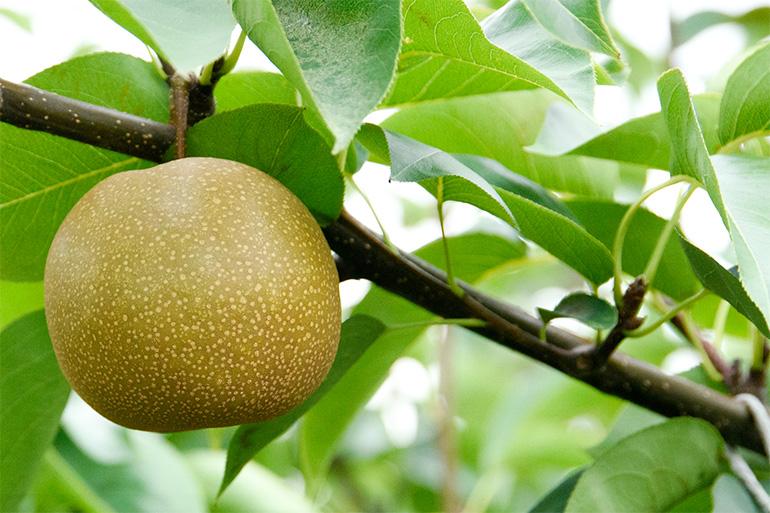 有機質肥料で健康に育てた果樹
