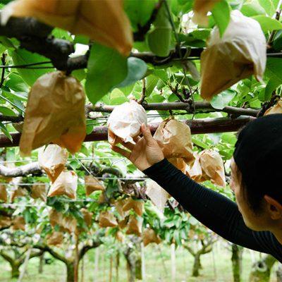 マルクニ農園が目指すのは「安全で美味しい梨づくり」