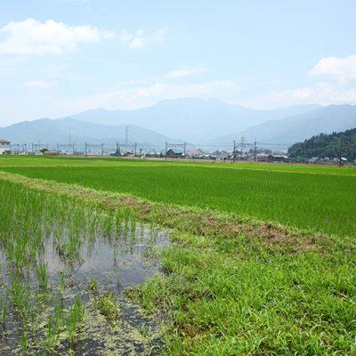 料理人目線の米作りに挑戦する