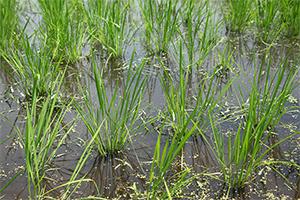 2.夜の低気温によって稲がでんぷんを蓄えられる
