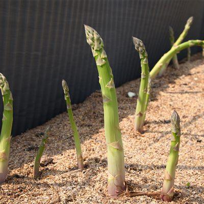 太陽をたっぷり浴びて育てる「露地栽培」