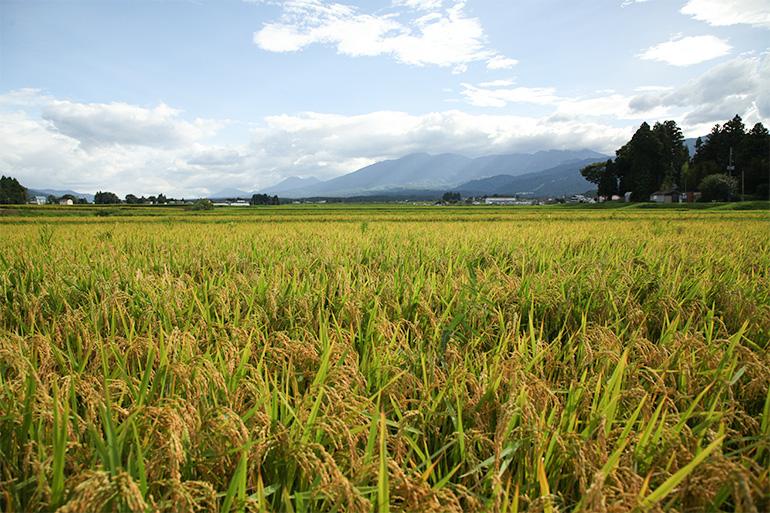 山々が連なる妙高市の気候により、美味しいお米が実ります