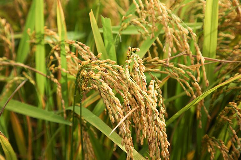 安心安全の特別栽培米です!