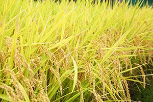 2.稲の成長しやすい環境作り