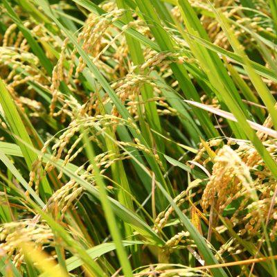 令和2年度米 新発田市菅谷産コシヒカリ(特別栽培米)