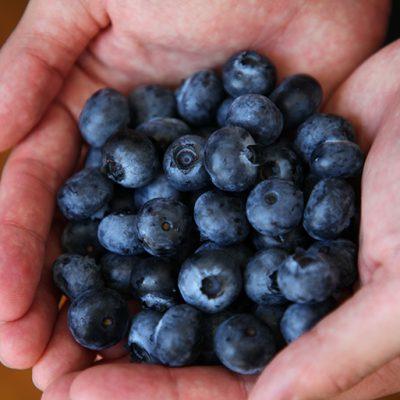 完熟したブルーベリーを、一つ一つ手摘みしてお届けします!