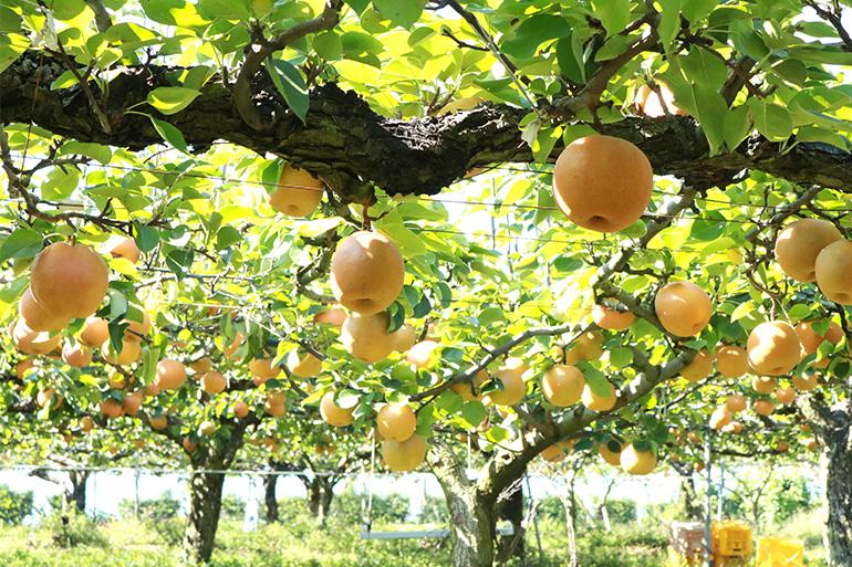 一番美味しいタイミングで収穫した「完熟梨」