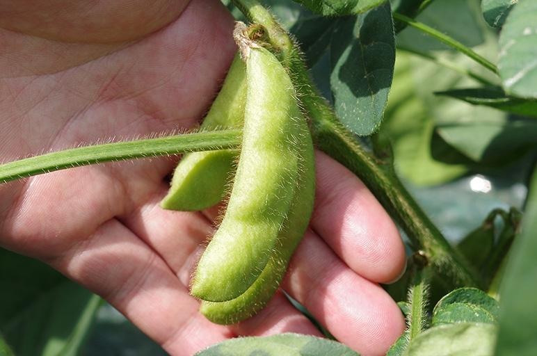 朝一番に収穫した新鮮な枝豆をその日のうちに出荷!