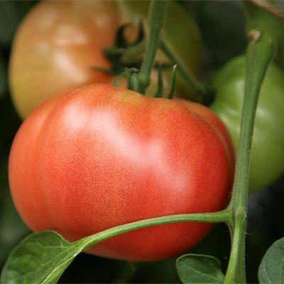 果肉がしっかりとしていて食べごたえ抜群!『にごりかわトマト』