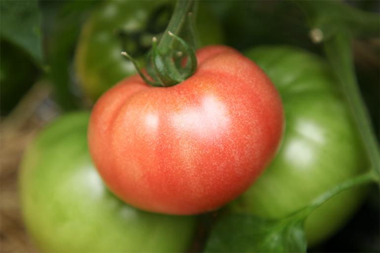 朝採り新鮮!新潟産ブランドトマトを産地直送!