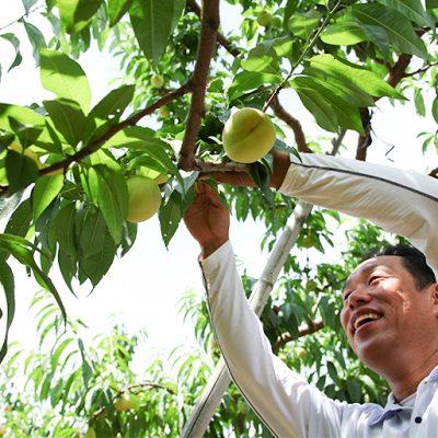 一つの樹に成る実の数を減らし、選りすぐりの桃だけをお届けします!