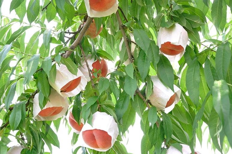 黒酢のアミノ酸が桃の糖度を上げる!殺菌効果で減農薬!