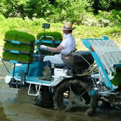 若い稲を太く元気に成長させる深水農法