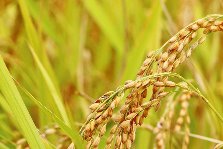 稲を元気にたくましく育てる工夫
