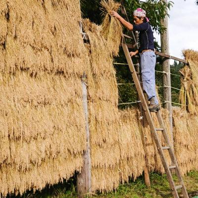 はざ掛け乾燥でもっちり感・風味の強いお米に仕上げる