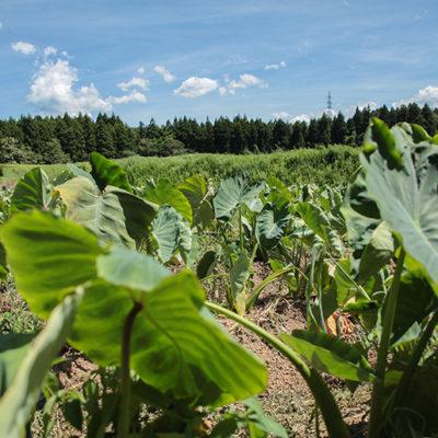 栄養管理された畑でぐんぐんとたくましく成長する里芋