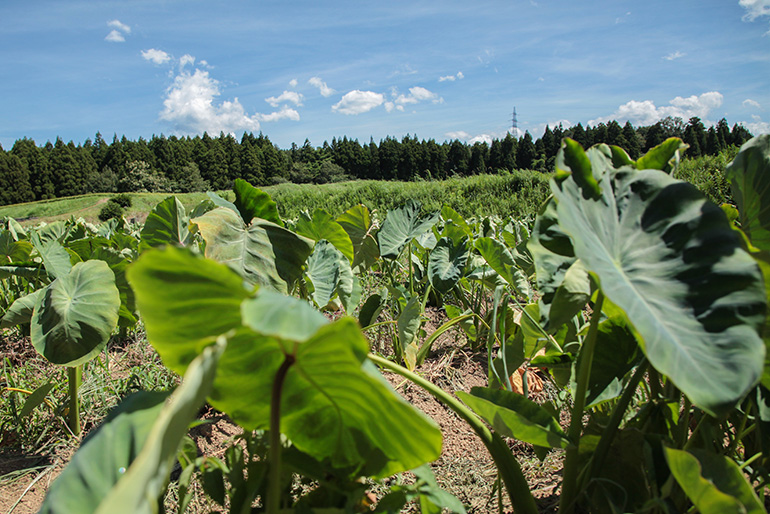 里芋を健康に育てる細やかな施肥