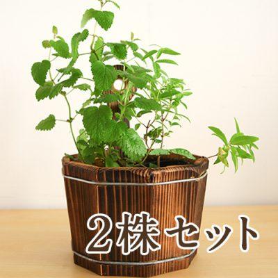 ハーブ苗付木製プランター 2株セット