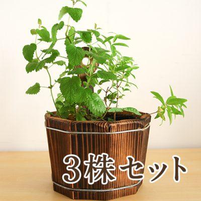 ハーブ苗付木製プランター 3株セット