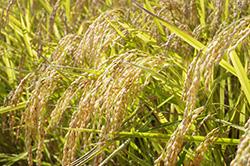 2.お米の生育状況をしっかりと見極める