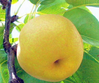 予約注文:利兵衛のとびっきり梨