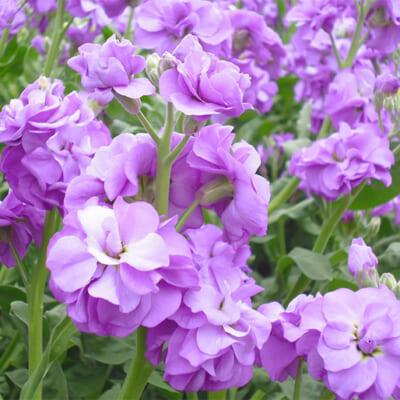 豪華な花を房状に咲かせるストック