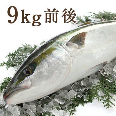 天然寒ブリ(一尾丸ごと) 9kg前後