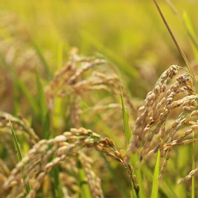 稲の様子を見ながら、丁寧に育て上げる