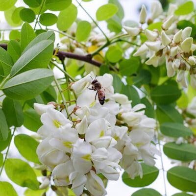 アカシアの群生地で作るピュアなハチミツ