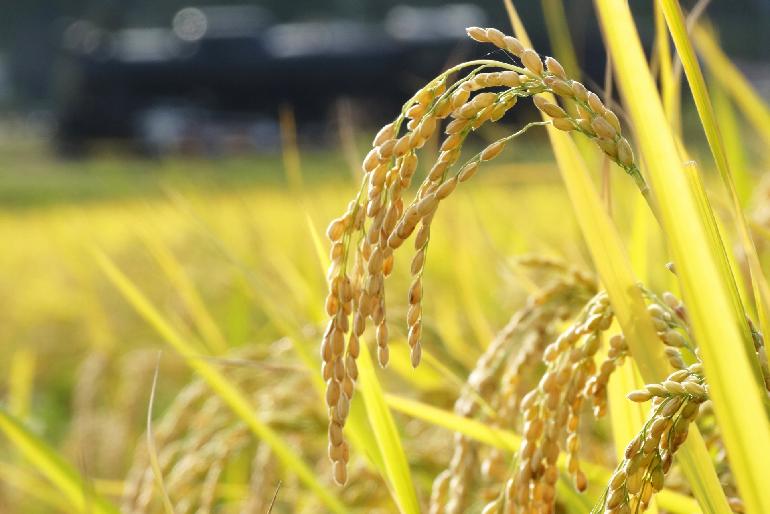 関川の大自然と丁寧な栽培が育んだコシヒカリ