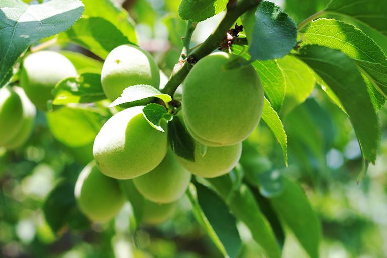 生産者の谷川さんも自宅で味わう自慢の梅
