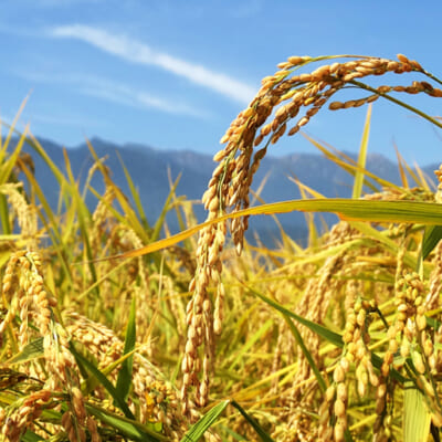 自然の恵みがお米をたわわに実らせます