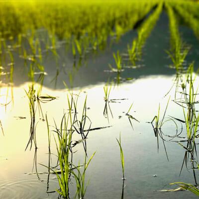 日中の暖かさと夜の寒さがお米を美味しくする