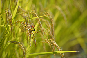 1.お米の栽培に最適な土壌